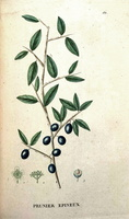 Prunus spinosa L. (1825)