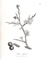 Prunus spinosa L. (1792)