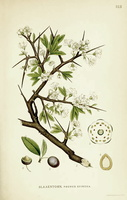 Prunus spinosa L. (1922 - 1926)