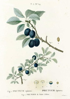 Prunus spinosa L. (1812)