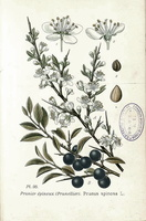 Prunus spinosa L. - 18