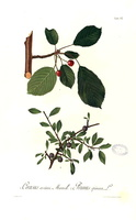 Prunus spinosa L. (1890)