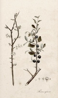 Prunus spinosa L. (1828 - 1833)