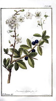 Prunus spinosa L. (1779)