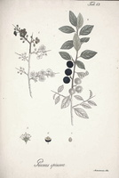 Prunus spinosa L. (1826)