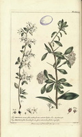 Amelanchier ovalis Medik. [as Mespilus amelanchier L.]  (1755-1760)
