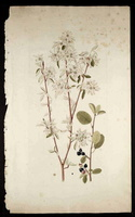 Amelanchier ovalis Medik. [as Mespilus amelanchier L.]  (1755)