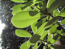 Pittosporum tobira (Thunb.) W.T.Aiton - 02
