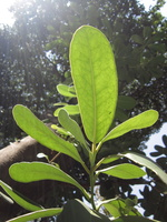 Pittosporum tobira (Thunb.) W.T.Aiton - 04