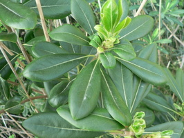 Pittosporum tobira (Thunb.) W.T.Aiton - 05