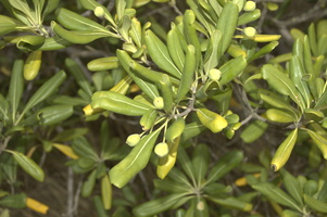 Pittosporum tobira (Thunb.) W.T.Aiton - 06