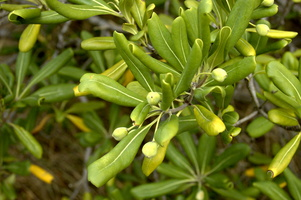 Pittosporum tobira (Thunb.) W.T.Aiton - 07