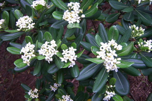 Pittosporum tobira (Thunb.) W.T.Aiton - 08
