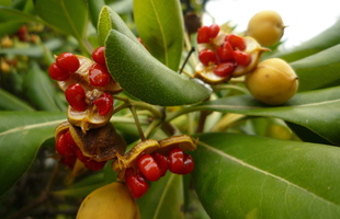 Pittosporum tobira (Thunb.) W.T.Aiton - 10
