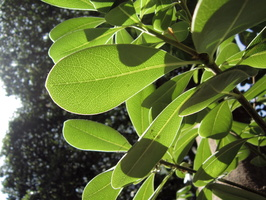 Pittosporum tobira (Thunb.) W.T.Aiton - 14
