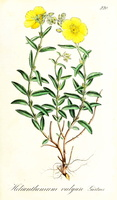 Helianthemum nummularium (Cav.) Losa & Rivas Goday [as Helianthemum vulgare Gaertn.]  (1836)