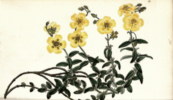 Helianthemum nummularium (L.) Mill. (1825 - 1830)