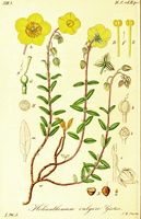 Helianthemum nummularium (Cav.) Losa & Rivas Goday [as Helianthemum vulgare Gaertn.]  (1845 - 1849)