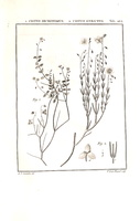 Helianthemum apenninum (L.) Miller [as Cistus strictus Cav.]  (1794)