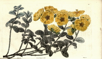 Helianthemum croceum (Desf.) Pers. (1825 - 1830)
