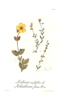 Helianthemum croceum (Desf.) Pers. [as Helianthemum glaucum Pers.]  (1890)