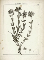 Helianthemum croceum (Desf.) Pers. [as Cistus croceus Desf.]  (1798)