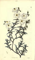 Helianthemum violaceum (Cav.) Pers. [as Helianthemum pilosum (L.) Pers.]  (1825 - 1830)