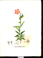Helianthemum violaceum (Cav.) Pers. [as Helianthemum pilosum (L.) Pers.]  (1829)