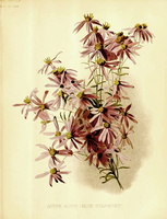 Galatella sedifolia (L.) Greuter [as Aster acris L.]  (1890)