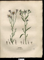 Galatella sedifolia (L.) Greuter [as Aster acris L.] (1831)