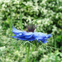 Nigella damascena L. - 10