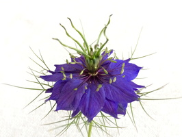Nigella damascena L. - 14