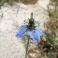 Nigella damascena L. - 20