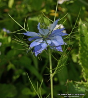 Nigella damascena L. - 23