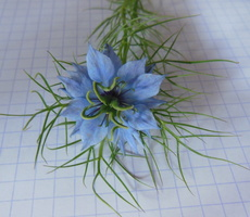 Nigella damascena L. - 30