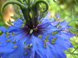 Nigella damascena L. - 35