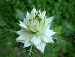 Nigella damascena L. - 40