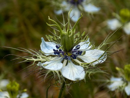 Nigella damascena L. - 48