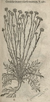 Chondrilla juncea L. [as Chondrilla viminea viscosa vinearum]  (1581)