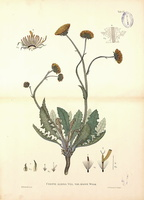 Crepis albida Vill. var. major (1881 - 1892)