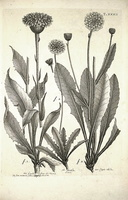 Crepis alpestris Rchb. [as Crepis albida All.]  (1785)