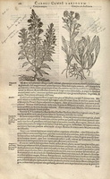 Inula viscosa (L.) Aiton [as Conyza major]   (1601)