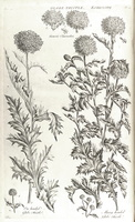 Echinops ritro L. [as one-headed globe thistle]  (1772)