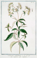 Eupatorium cannabinum L. [as Eupatorium cannabinum]  (1783 - 1861 )