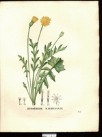 Hyoseris radiata L. (1831)