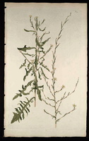 Lactuca viminea C.B. Clarke [as Prenanthes viminea L.]  (1773)