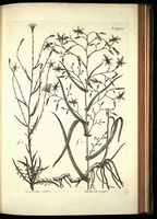 Lactuca viminea C.B. Clarke [as Prenanthes ramosissima All.]  (1785)