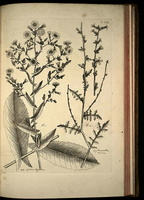 Lactuca viminea C.B. Clarke [as Prenanthes ramosissima All.]  (1785) - 02