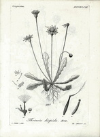 Leontodon saxatilis (Ten.) Rchb. [as Thrincia hispida (Roth) Roth]  (1823 -1832)