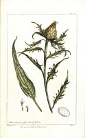 Rhaponticum coniferum (L.) Greuter [as Centaurea conifera L.]  (1755 - 1760)
